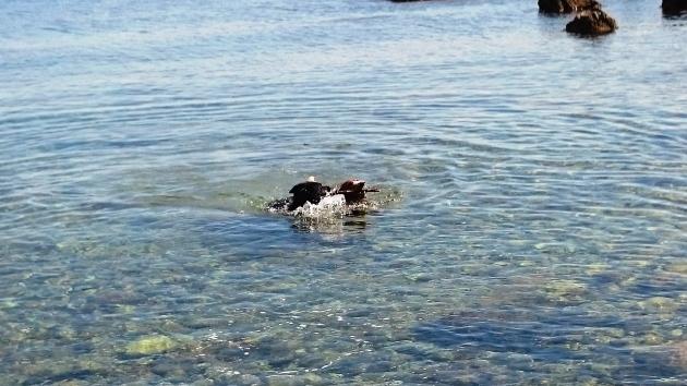 dogs enjoying the sea in Rovinj